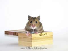 (marieodeliesouciou) Tags: pet pets animal animals studio rodent venus olympus hamster animaux rodents graines syrian nacs syrien sauvage nac e510 rongeur rongeurs amandes amande