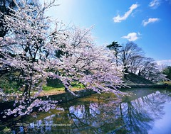 Sakura hirosaki castle moat.  Glenn Waters (Explored)  9,500 visits to this photo. Thank you. (Glenn Waters in Japan.) Tags: japan reflections spring nikon explore sakura cherryblossoms hirosaki japon soe 14mm explored  anawesomeshot d700 nikond700  glennwaters nikkorafs1424mmf28
