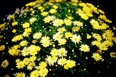 mound of flowers (moaan) Tags: leica flower color green yellow 50mm spring globe flora dof bokeh earth may tint f10 neighborhood utata bloom flowering noctilux marguerite hue 2009 leicam7 blooming m7 florescence vicinity inbloom efflorescence parisdaisy fujivelvia100 rvp100 floriculture leicanoctilux50mmf10 gettyimagesjapanq1 gettyimagesjapanq2