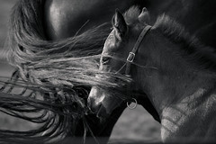 _MG_8110.jpg (Jennaraleigh) Tags: bw horse tail thoroughbred foal equinephotography