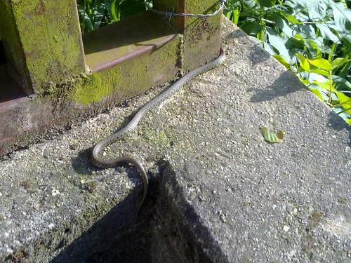 Snake in Brussels