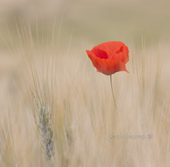 ....dedicata a tutte le flikeriane..... :))) (paololivorno) Tags: red country campagna blond tuscany poppy toscana grano papavero top20colorpix maturo mywinners platinumheartaward paololivorno flickrlovers