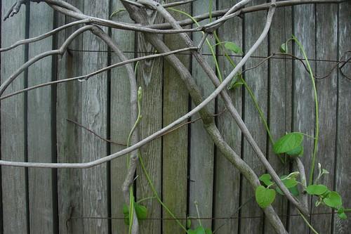 Aristolochia macrophylla, Dutchman's Pipevine