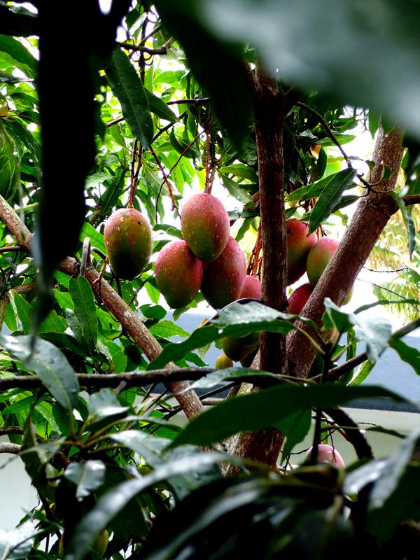 ripe mangoes 1