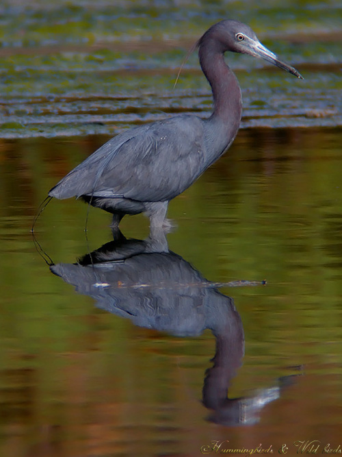 little-blue-heron-a