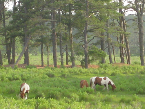 Wild Ponies at Sunset, Assateague