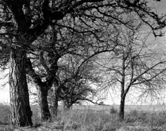 Powell Butte Apple Trees (Gary L. Quay) Tags: winter kodak largeformat appletrees powellbutte portland oregon park linhof tmax bluemoon northwest foolscapeimagery foolscape imagery garylquay gary quay tree apple