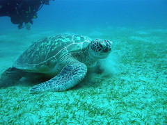 Green Sea Turtle feeding in Marsa Abu Dabbab (mattk1979) Tags: sea green coral turtle redsea egypt scuba diving reef marsa marsaabudabbab shagra redseadivingsafari