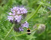 Phacelia tanacetifolia attracting a Bumblebee