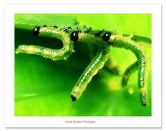 Threesome !! (Anuma S. Bhattarai) Tags: nepal baby green love nature rock dance asia play may caterpillar caterpillars roll kathmandu rocknroll nepali sharma anuma thechallengefactory anumasharma 72lumixpanasonicdmcls70