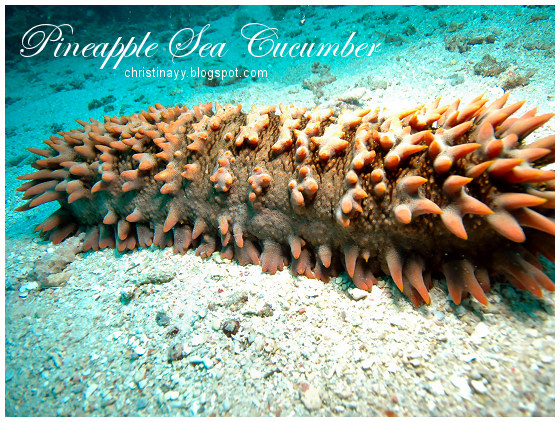 Cairns: Pineapple sea cucumber
