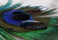 Sheer beauty (peggyhr) Tags: blue friends light brown white canada black macro green lines dedication reflections grey dof bc bokeh turquoise curves olive explore peter tiles barbs waterdrops windowsill peafowl taupe magnification rachis indianpeafowl peacockfeather 100faves explorefrontpage abigfave aplusphoto globalvillage2 peggyhr citrit barbules theperfectphotographer explored100 explorewinnersoftheworld screamofthephotographer vosplusbellesphotos themasterofmasterpieces 5506b