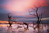 Sunset at Menindee Lakes, Outback NSW, Australia (-yury-) Tags: sunset sky cloud tree water landscape lakes australia nsw outback brokenhill закат darlingriver menindee озеро supershot австралия abigfave pamamaroo