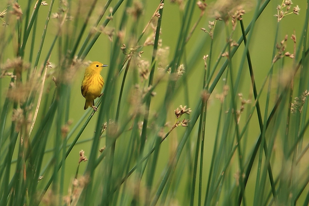 Yellow Warbler (Dendroica petechia)-8743
