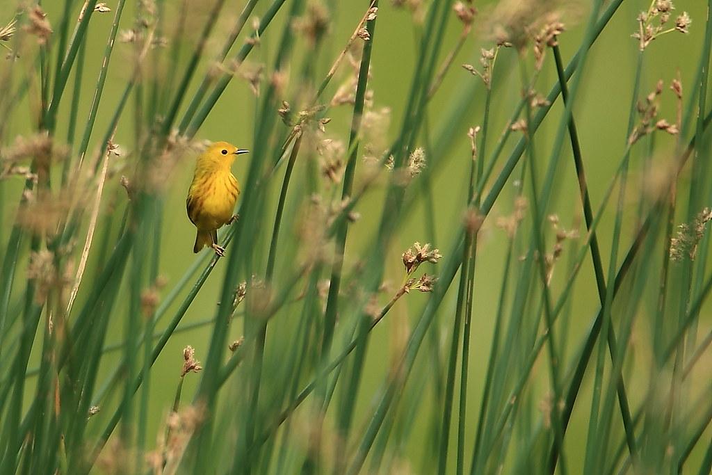 Yellow Warbler (Dendroica petechia)-8743