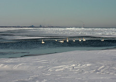 Swans on Lake Erie (Trostan) Tags: winter ontario canada cold port paul 2009 mcalister trostan ryerse