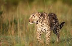 Olive Hunting (Lyndon Firman) Tags: africa kenya olive leopard bbc masaimara jacksonfive pantherapardus specanimal bigcatdiary bigcatweek anawesomeshot bigcatlive