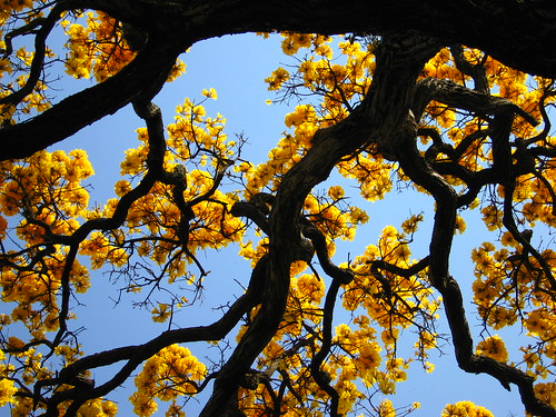 nature ipe yellow branches trees favorites Tabebuia