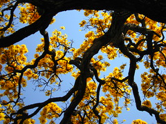 Detalhe de floração de um ipê-amarelo (Tabebuia) contra o céu azul do inverno brasileiro