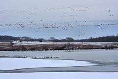 Snow Geese III (debapaka) Tags: snowgeese middlecreekwildlifemanagementarea