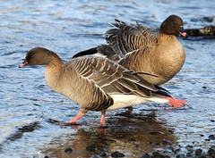 Pinkie Pair. (stonefaction) Tags: nature birds scotland geese angus wildlife goose forfar loch pinkfeet pinkfooted pinkfoot