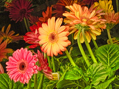 Brought Inside (Gerbera Daisies) (Sidney French) Tags: flowers plants colors photoshop nikon alabama gerbera coolpix lucisart gerberadaisy beautifulweeds elements5 flowerpicturesnolimits hdr~lucisart~orton creativeartphotography