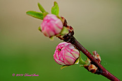 Flowering Almond Buds (dlsteele01) Tags: flowers macro nature canon spring flora macromania flowerpicturesnolimits estremit macroflowerlovers awesomeblossoms dlsteele01
