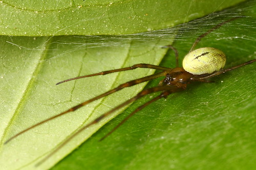 Kemensah Waterfall | Spider - ID needed (2:1 FF)