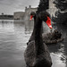 Black Swans in the Moat (selective colour)