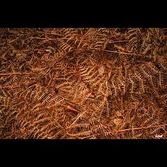 Farn (horstmall) Tags: brown plant fern leaves forest dead pflanze dried braun wald farn stalks welk formen schnbuch bizarr abgestorben horstmall