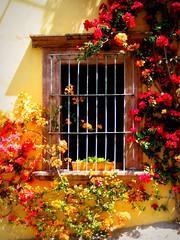 wraparounds (msdonnalee) Tags: window mexico ventana fenster  finestra sanmigueldeallende mexique janela fentre mexiko bouganvilla venster  bugambilia  photosfromsanmigueldeallende sanmigueildeallende photosofsanmigueldeallende windowandbouganvilla photosbydonnacleveland