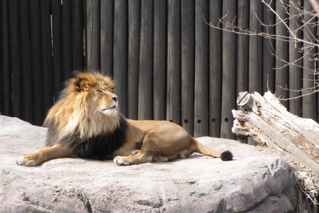 lion photo by Adrienne in Ohio