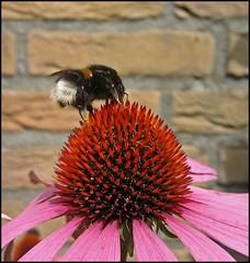 Bumble on the Flower (Echinacea) (betuwefotograaf) Tags: flower holland netherlands bee mygarden geldermalsen gelderland betuwe eigentuin rhenoy betuwefotograaf flickrcinated wwwbetuwefotoeu