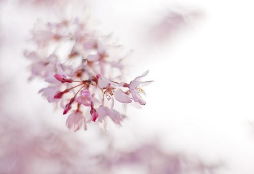 13217 : Sakura2009 #12