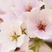 DC Cherry Blossom Festival by gwburke2001