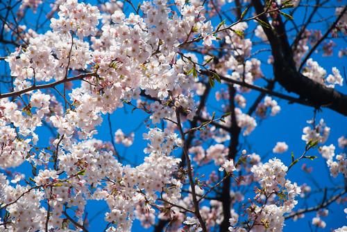 More Sakura 07