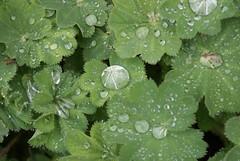 diamonds on the leaves (Daniela Ionesco) Tags: france garden monet april 2009 giverny eure alchemillamollis ladysmantle