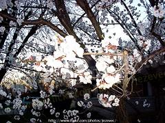 "Apricot  ""Prunus armeniaca"" 2003-04-02 030 Home-Spring-Apricot-Forsythia (Badger 23 / jezevec) Tags: 2003 trees flower tree fleur forest log timber flor boom april apricot   blume fiore albero arbre strom baum puno 20030402 prunus bloem cais  koks   albaricoque drzewo aprikose  albicocca   jezevec  mti abricot abrikoos kvt aprikos arbore vbr      aprikoosi   prunusarmeniaca   wabigon  alperce  parmeniaca badger23  abrikosas trd aprikozes  tr rvore rbol"