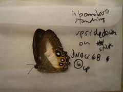 Splendeuptychia triangula