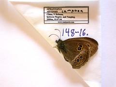 Aphantopus arvensis
