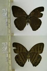 Megeuptychia antonoe