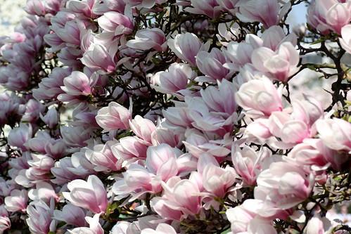 tulpen magnolie magnolia x solangiana a photo on. Black Bedroom Furniture Sets. Home Design Ideas
