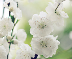 White Blossoms (Shana Rae {Florabella Collection}) Tags: flowers white tree wednesday branch bokeh blossoms naturallight honey neighbors florabella lilyblue whispery nikond300 shanarae
