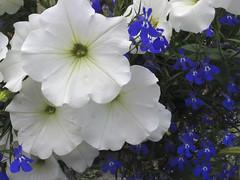 petunia and blue (axiepics) Tags: flowers blue plants white flower floral petunia petunias blueandwhite whiteandblue fantasticflower flickrsfantasticflowers ©copyrightalexskellyallrightsreserved