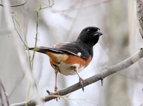 male Eastern Towhee