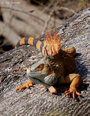 "Iguana (""Olga"") Tags: costarica reptile lizard iguana anawesomeshot isladepajaros fantasticwildlife"