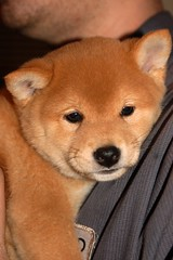 6wks 7 days (71) (Netsirksmada) Tags: red puppy photography adams nest mango kristen april shiba 2009 perrito inu shibas