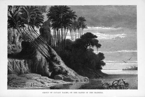 006-Los Ríos Amazonas y Madeira 1875- Conjunto de palmeras en la ribera del Madeira