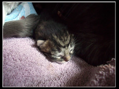 Sleeping one (OpticalGlee) Tags: new sleeping baby cute cat born kitten feline young kitty newborn