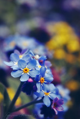 Irresistible Blue (Tanjica Perovic Photography) Tags: blue flower macro closeup photography fotograf photographer bokeh forgetmenot  srpski flickrsbest sigma1770mm fotografija   theunforgettablepictures  tanjicaperovicphotography